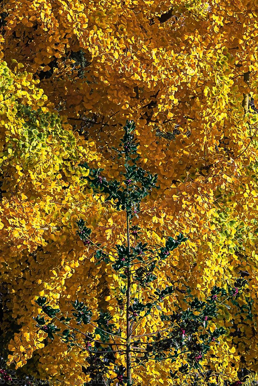 Lorbeerbaum und Gingko im Sonnenschein - Laurel tree and Ginkgo in sunshine