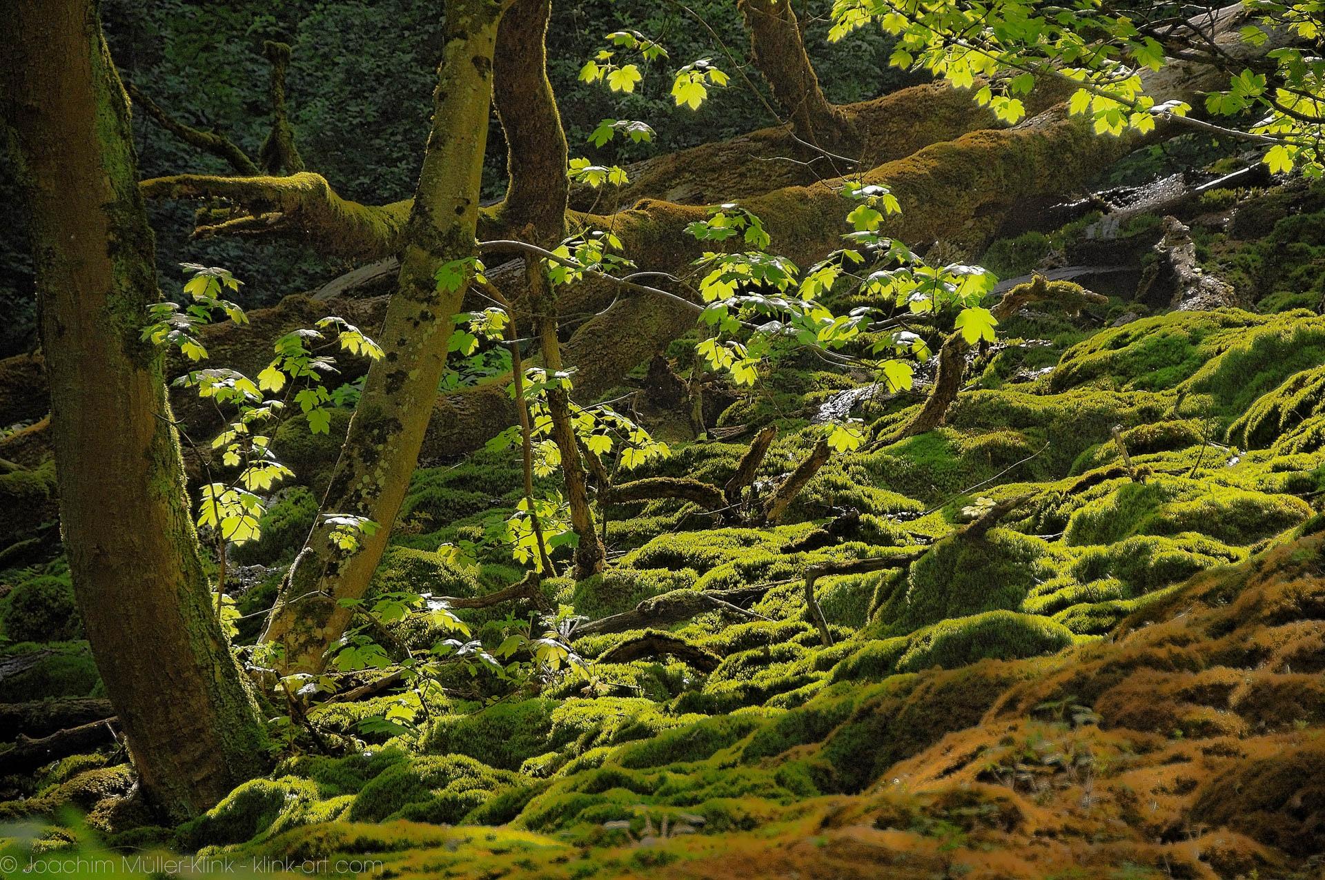 Umgestürze Bäume in einem Bett aus Moos - Fallen trees in a bed of moss