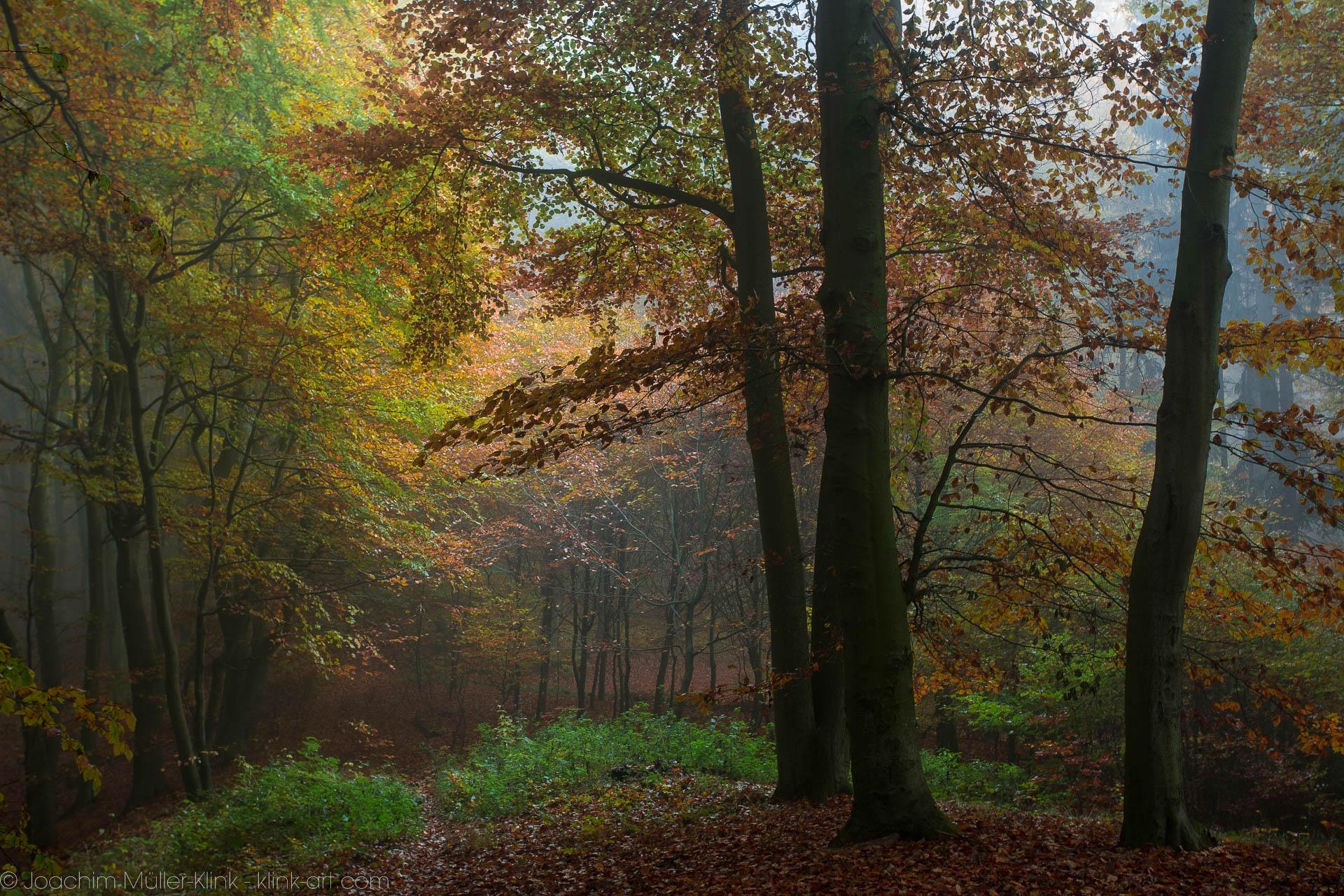 Buchen im Herbstwald - Bleech trees in autumn forest