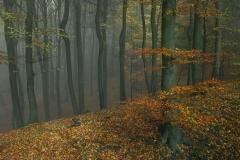 Herbstlicher Buchenwald - Autumnal beech tree forest