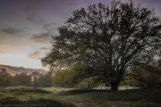 Herd oak - Hüteeiche