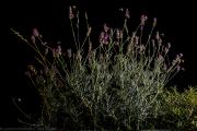 Lavender beckons - Lavendel lockt